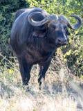 Big buffalo bull, Syncerus c.caffer, Chobe National Park, Botswana. The Big buffalo bull, Syncerus c.caffer, Chobe National Park, Botswana stock photography