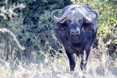Big buffalo bull, Syncerus c.caffer, Chobe National Park, Botswana. The Big buffalo bull, Syncerus c.caffer, Chobe National Park, Botswana royalty free stock photos