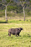 Big buffalo eats grass in idyllic Africa Royalty Free Stock Photo