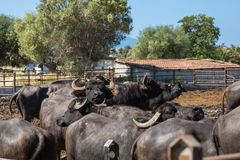 The  buffalo farm,  Italy. The big buffalo farm to Mozzarella Produktion in Italy by Summer sunny Day Stock Image