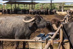 The  buffalo farm,  Italy. The big buffalo farm to Mozzarella Produktion in Italy by Summer sunny Day Stock Photo