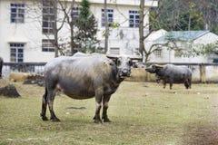 A big Buffalo Stock Photos