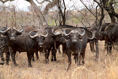Big Buffalo herd. African buffalo herd in Kruger National Park in South Africa Red billed Oxpecker Buffalo are part of the Big 5, the five most dangerous animals stock images