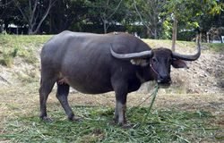 Big Buffalo with horn. Black buffalo thai buffalo Stock Photo