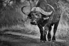Big buffalo with big horns advancing. Black and white photography royalty free stock photos