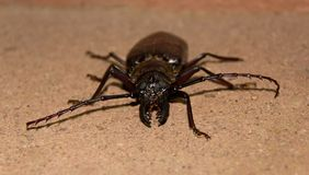 Free Big Bug Royalty Free Stock Photo - 36020595