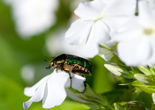 The big bug on a flower Royalty Free Stock Photo