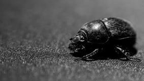 Big bug walking. Down it`s way Royalty Free Stock Photos