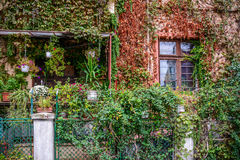 Big building covered with overgrown-plants.Window and garden cov Stock Images