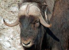Big bull Stock Photos