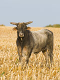 Big Bull. A Big Bull in a cornfield Stock Images
