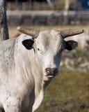 Big Bull Royalty Free Stock Photography