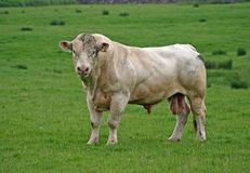 Big Bull Stock Image