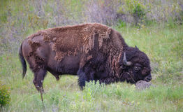 Big Bull Bison Rubbing His Chin on a Rock Royalty Free Stock Image