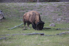Big Bull Bison. In Yellowston grazing on grass around dead logs. The bison is shedding Stock Photos