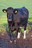 Big bull cow on a farm  Stock Photo