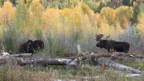 Big Bull and Cow Moose in Rut stock video