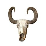 Bull cranium Royalty Free Stock Images