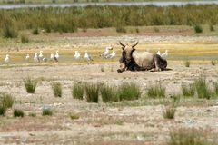 Big bull in danube delta Royalty Free Stock Photo