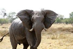 Big Bull Elephant Stock Photo
