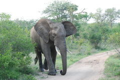 Big Bull Elephant in charge of the path Stock Image