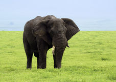 Big bull elephant grazing in the Ngorongoro Crater of Tanzania, Africa Royalty Free Stock Photos