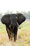 Big Bull Elephant Royalty Free Stock Photography
