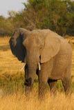 Big Bull Elephant Stock Image