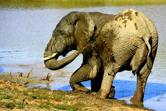 A big bull elephant takes a mud bath Royalty Free Stock Image