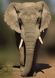 African elephant walking forward Stock Photo