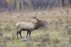 Big Bull Elk Stock Images