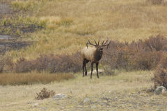 Big Bull Elk Bugling Stock Images