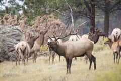 Big Bull Elk Bugling with cow elk. Dominant Bull Elk Bugling in Harem Stock Image