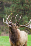 Big Bull Elk Bugling Royalty Free Stock Image