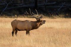 Big Bull Elk Bugling Royalty Free Stock Photos