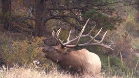 Big Bull Elk Bugling stock video footage