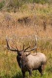 Big Bull Elk Bugling Stock Image