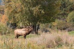 Big Bull Elk Bugling in Rut Royalty Free Stock Images