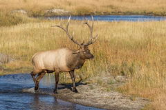 Big Bull Elk Crossing a Stream Stock Photography