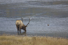 Big Bull Elk Drinking Royalty Free Stock Photos