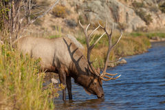 Big Bull Elk Drinking. A big bull elk drinking from a mountain stream during the fall rut Stock Photography
