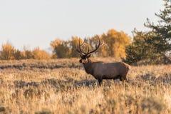 Big Bull Elk in Fall Royalty Free Stock Images
