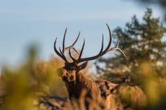 Big Bull Elk in Fall Stock Photography