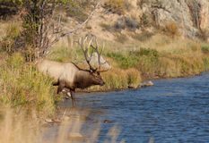 Big Bull Elk Going for a Drink Stock Image