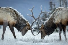 Big bull elk locking heads. stock photos
