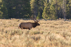 Big Bull Elk in Meadow Stock Photography