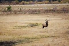 Big Bull Elk in Meadow Stock Images