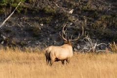 Big Bull Elk in Meadow in Rut Royalty Free Stock Image