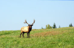 Big Bull Elk Royalty Free Stock Images
