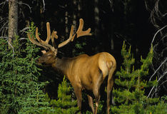 Big Bull Elk in Velvet. A big bull elk in velvet standing in pine forest opening Royalty Free Stock Photography